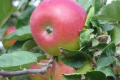 Apfelsorte-Brettacher-3