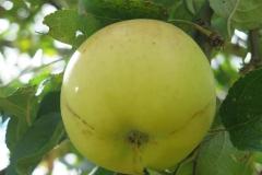 Apfelsorte-Gelber-Edelapfel-2